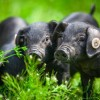 无公害生态黑猪认养